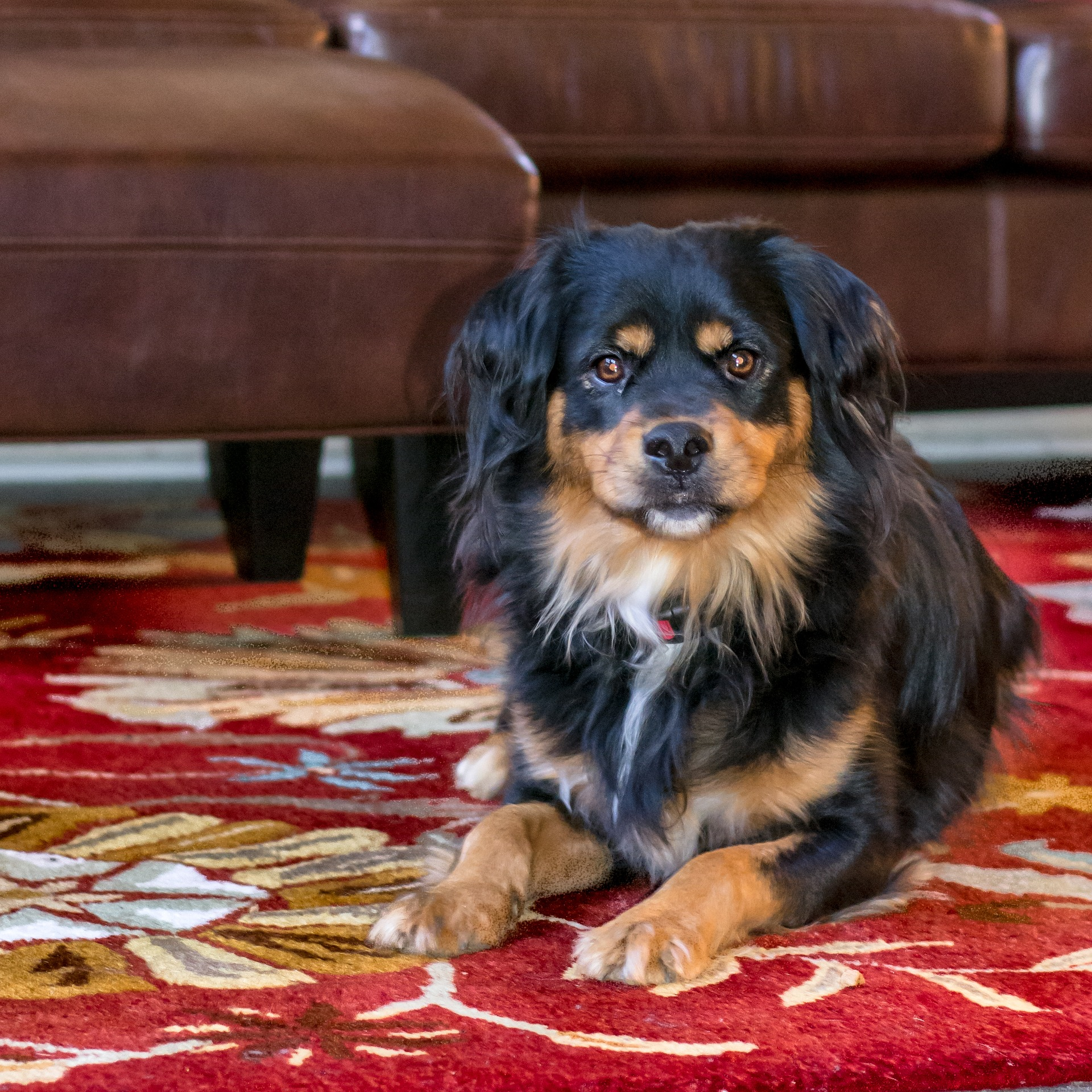 Black and brown dog lounging in family room red flower rug