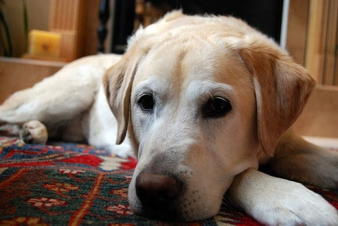 yellow-labrador-retriever-750760_480
